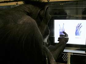Chimpanzees learn rock-paper-scissors