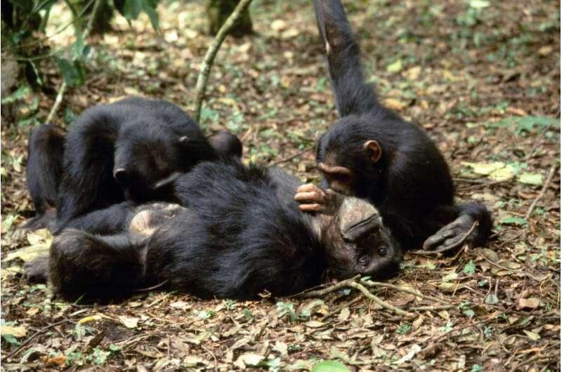 Chimpanzees modify grooming behavior when near higher ranking members