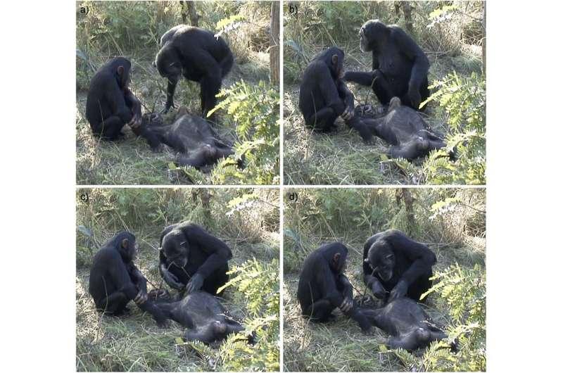Chimp filmed cleaning dead son's teeth