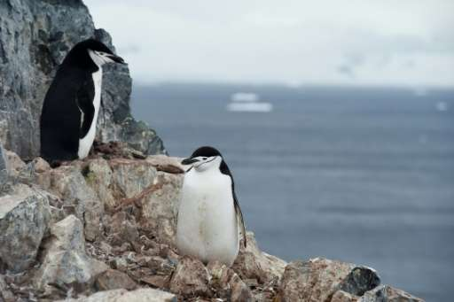 Chinstrap penguins are one of the species whose populations are decreasing