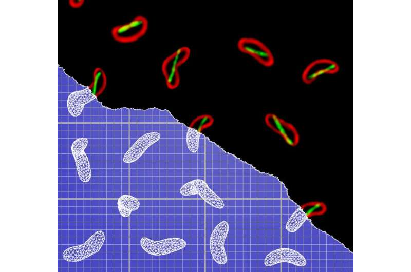 Cholera bacteria infect more effectively with a simple twist of shape