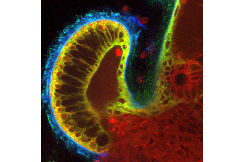 Cilia: 'The bouncer' of bacteria