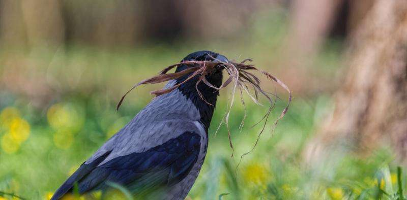 Clever crows can plan for the future like humans do