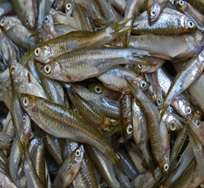 Compounds in an Asian fermented fish paste could reduce high cholesterol