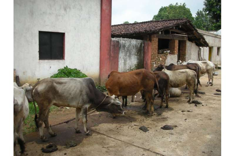 Considering cattle could help eliminate malaria in India