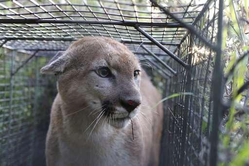 Cougar makes rare successful crossing of LA-area freeway