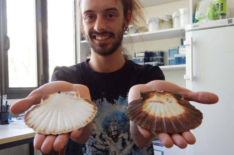 Cultivated scallops populations develop distinct genetic structure
