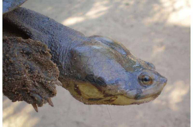 Dahl's toad-headed turtle threatened by fragmented habitat, shrinking populations