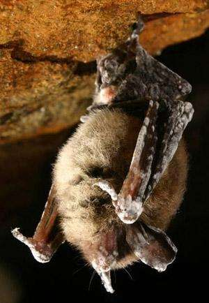 Deadly fungus affecting hibernating bats could spread during summer