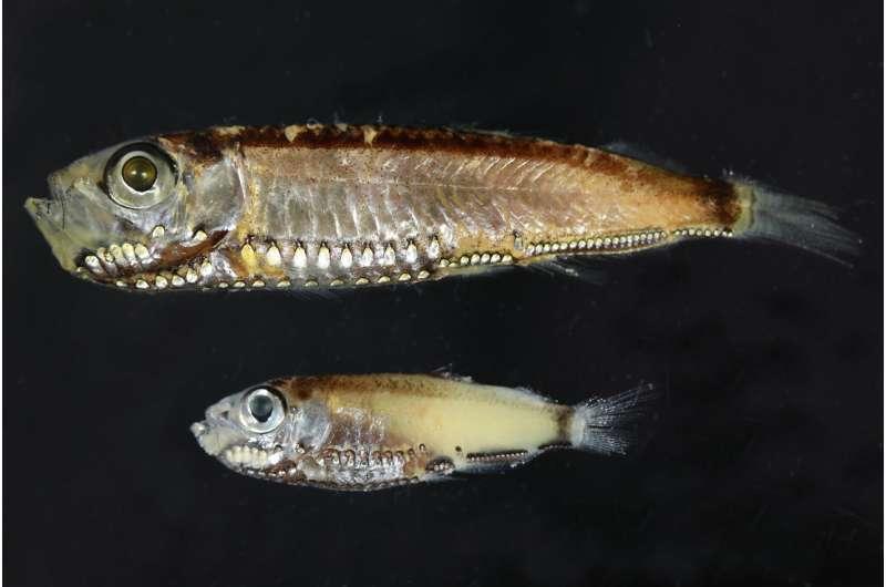 Deep-sea fish reveals twilight trick
