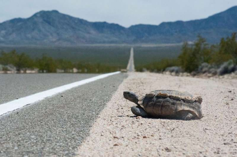 Desert tortoises can't take the heat of roadside fencing