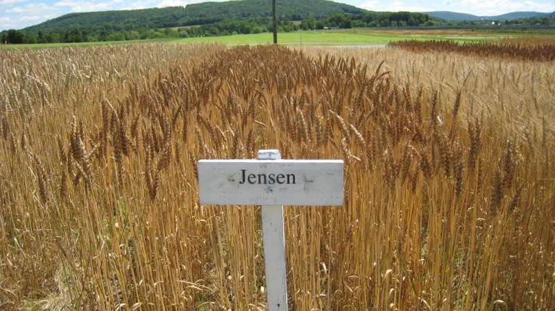 Developing climate-resilient wheat varieties