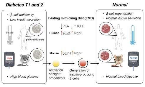 Diabetic mice on fasting-mimicking diet repair insulin-producing pancreas cells