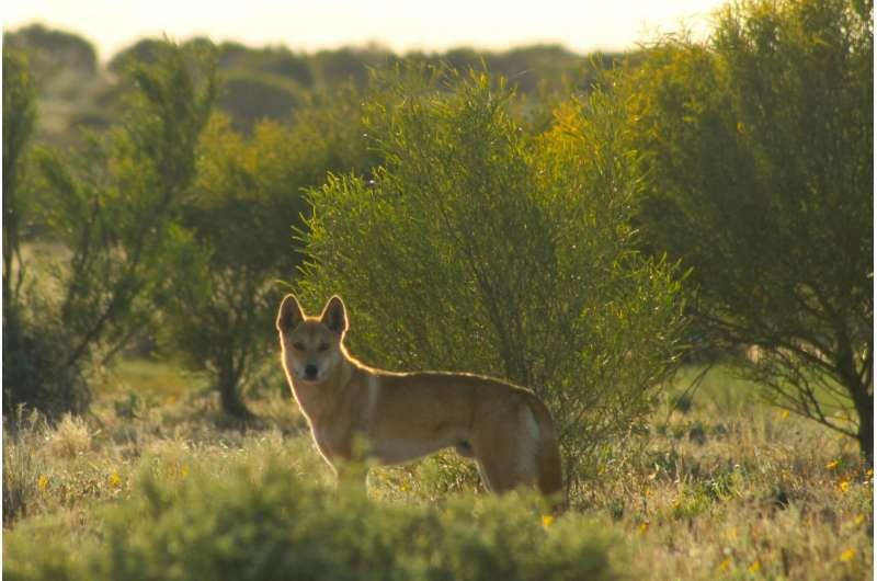 Dingo fence study shows dingo extermination leads to poorer soil
