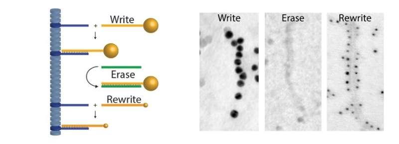 DNA as a supramolecular building block