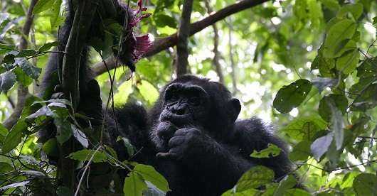 Dramatic differences spotted in chimp communities