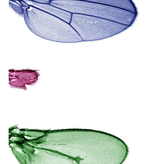 Drosophilia brings to light the role of morphogens in limb growth