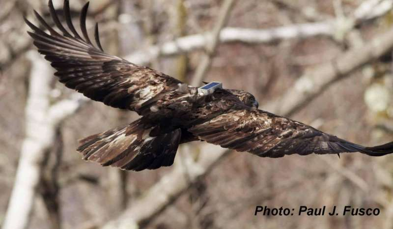 Eagles migrate through bad weather to arrive in time to nest