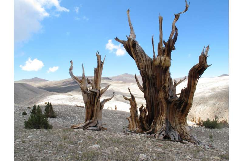 Earth's oldest trees in climate-induced race up the tree line