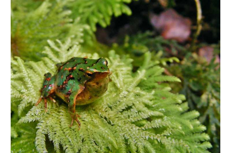 Emerging infectious disease threatens Darwin's frog with extinction