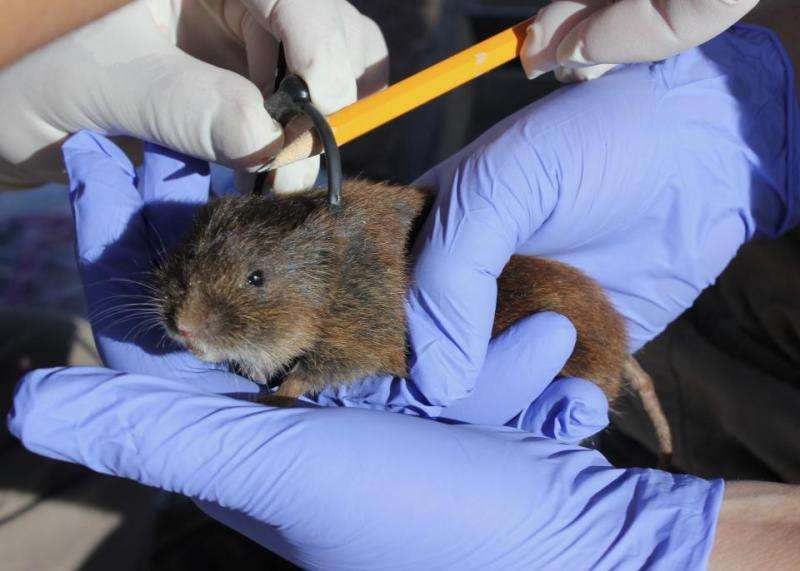 Endangered Amargosa Voles Need More Than a Rainy Day
