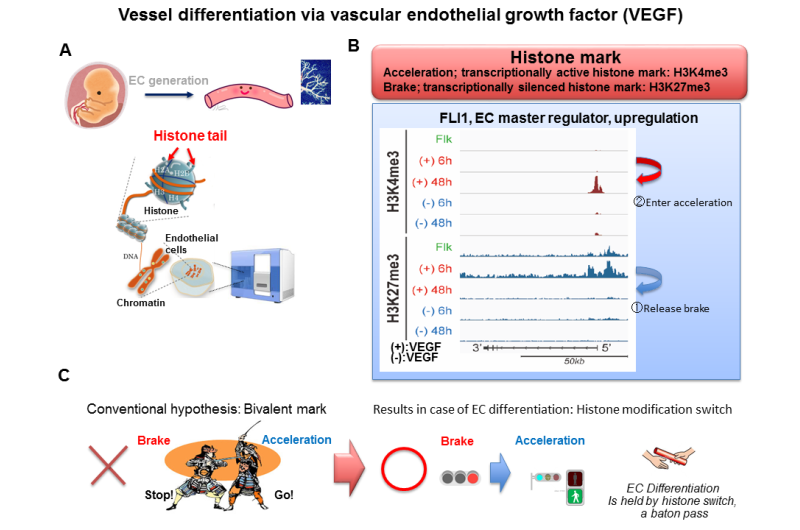 Epigenetic program leading to vessel differentiation