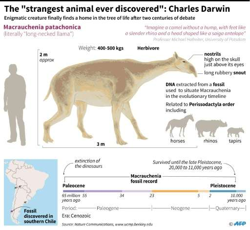 """Factfile on Macrauchenia patachonica - literally the """"long-necked llama"""" - which a new study finally places in the evo"""