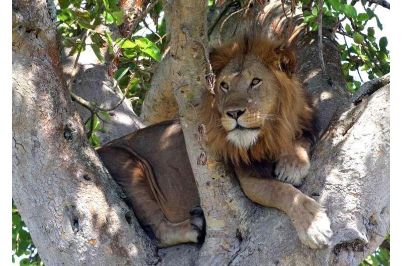 Famous tree-climbing lions of Uganda roaming farther as prey animals decrease