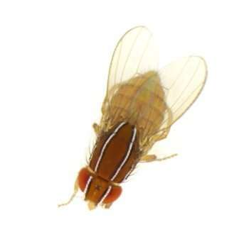 Fantastic fruit flies and where to find them