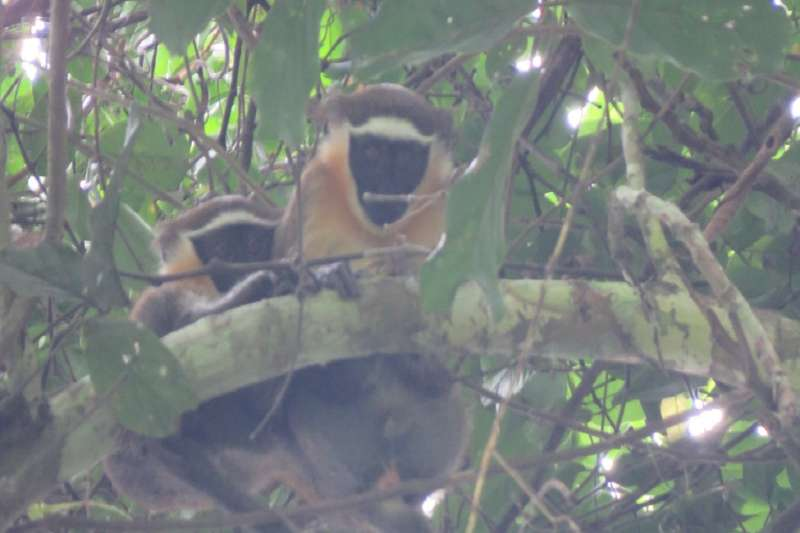 FAU first to video newly discovered population of monkeys thought to be nearing extinction