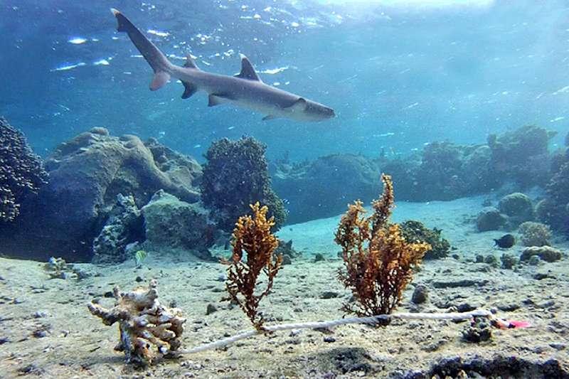 Fear of sharks influences seaweed growth on Fijian coral reefs