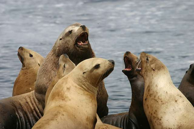 Female Steller sea lions tend to breed near their birthplace