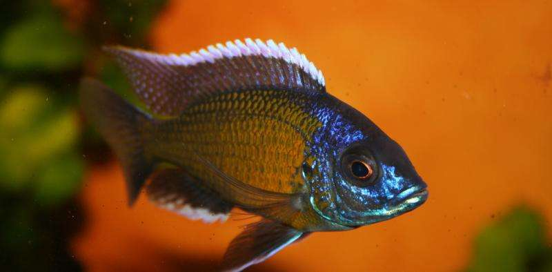Fish show cheating can be better than playing by the rules in the mating game