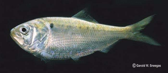 Fish shrinking as ocean temperatures rise