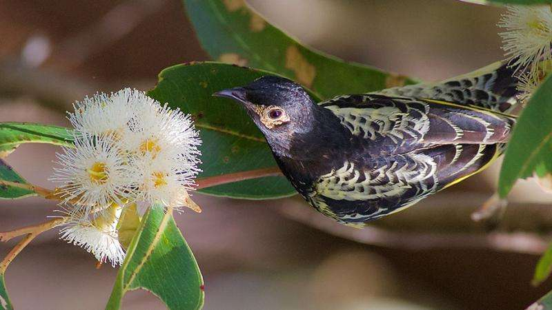 Flock size matters for critically endangered regent honeyeaters»