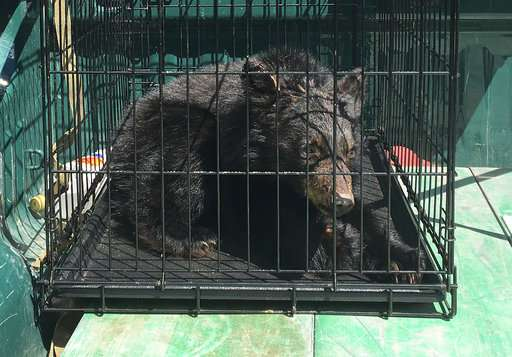 Food shortage leading to starvation of orphan bear cubs