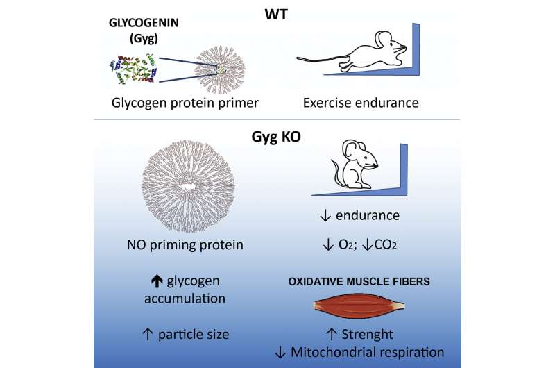 For mice, too much muscle glycogen impairs endurance exercise performance