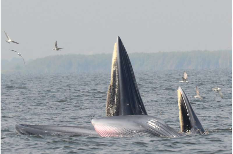For these baleen whales, hunting requires little more than treading water