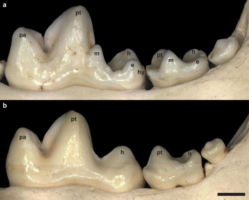 FOXI3 gene is involved in dental cusp formation
