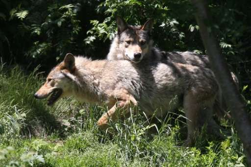 French livestock breeders say wolves are a growing threat to their animals