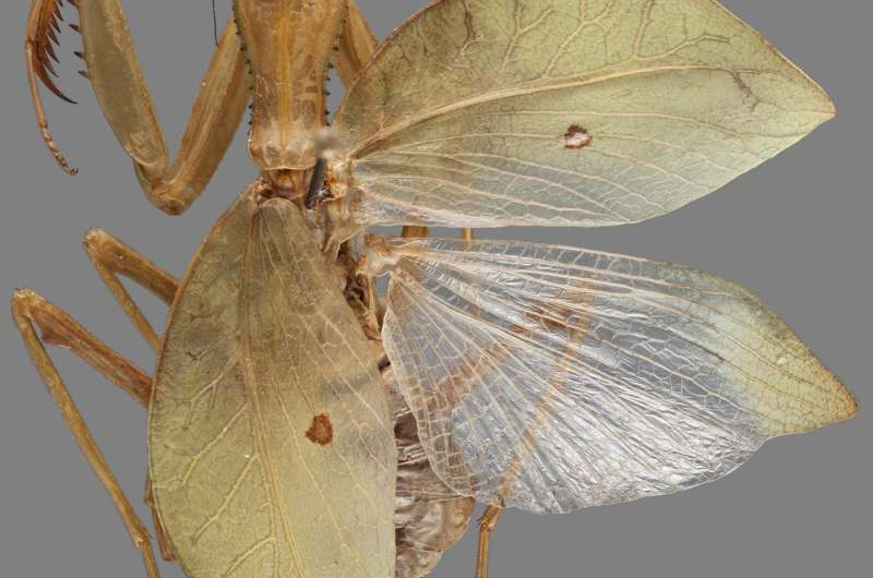 Gender dictates camouflage strategy in this newly identified praying mantis group