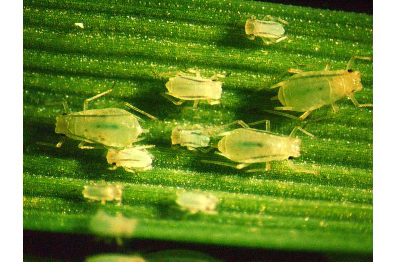 Genetic discovery another tool in battle against wheat pests