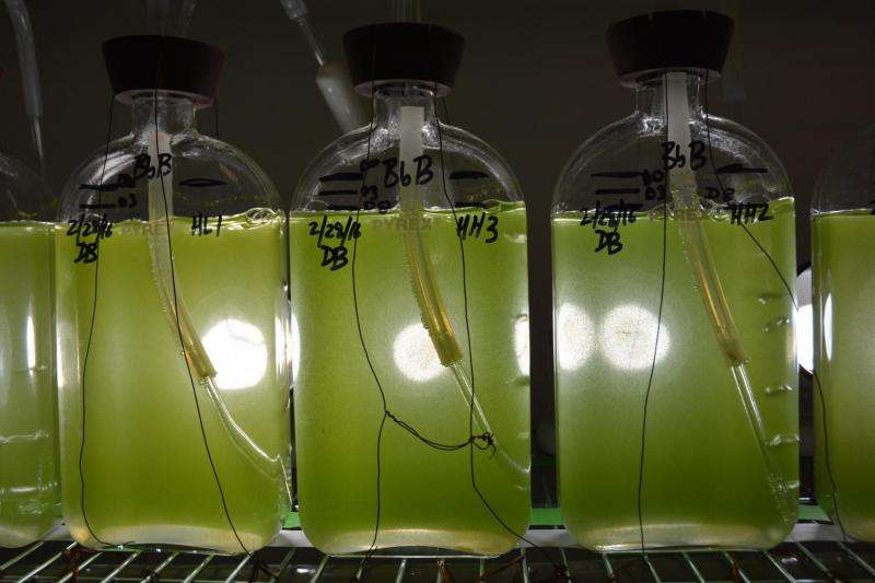 Genome sequence of fuel-producing alga announced