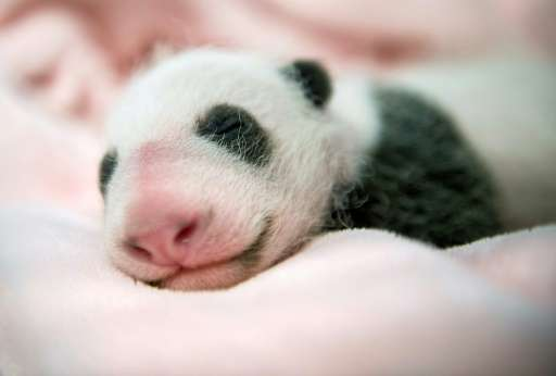 Giant pandas have a famously low reproductive rate and births in captivity are rare