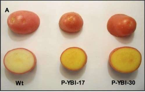 'Golden' potato delivers bounty of vitamins A and E