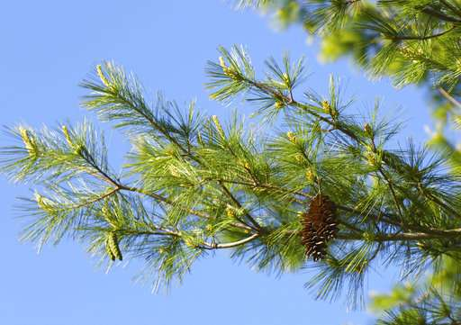 Go west, young pine: US forests shifting with climate change