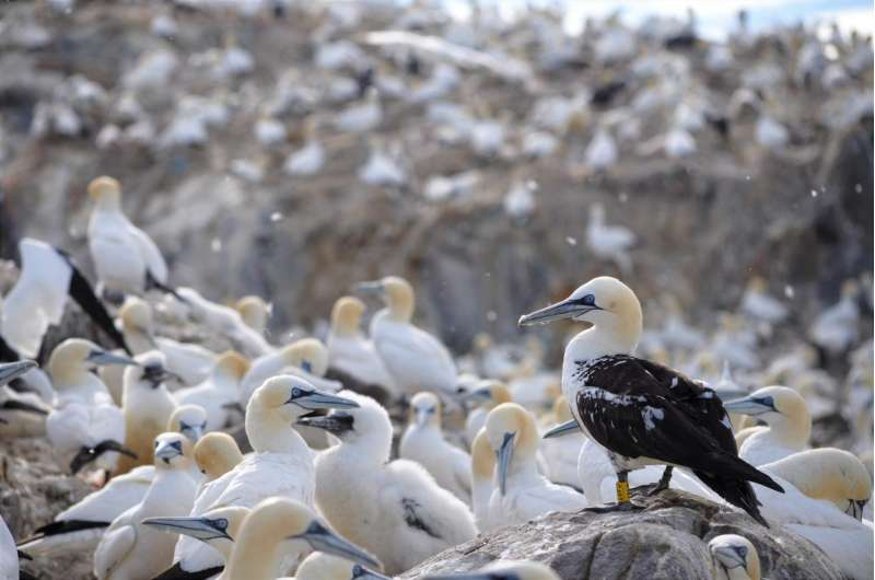 Grown-up gannets find favorite fishing grounds