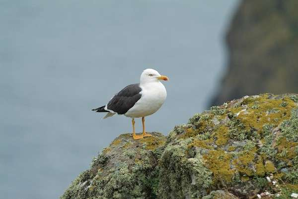 Gull decline on Scottish island linked to decline in fishing discards