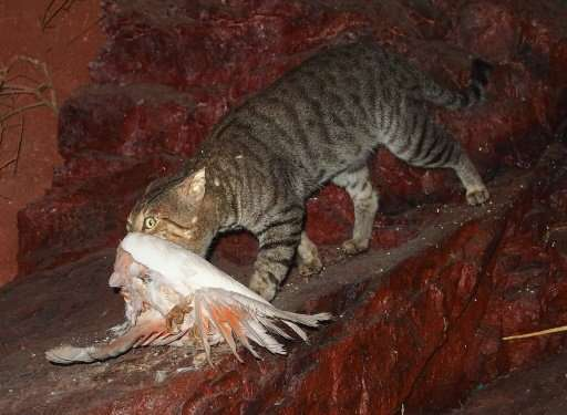 Handout photo from The Threatened Species Recovery Hub showing a feral cat in Australia with a dead Galah bird in its mouth