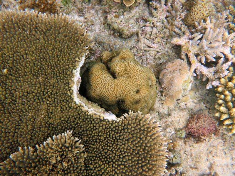 High diversity on coral reefs—a very big game of rock-paper-scissors
